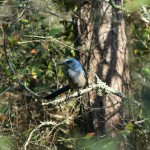 Scrub Jay Survey & Permitting for a Water Treatment Plant Facility Expansion
