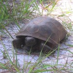 Gopher Tortoise Survey Associated with Roadway Expansions in Seminole County